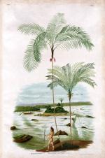 Sertum palmarum brasiliensium, ou, Relation des palmiers nouveaux du Brésil: découverts, décrits et dessinés d'aprés nature