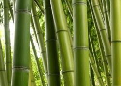 Projeto quer incentivar o cultivo do bambu no sul da Amazônia