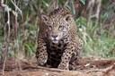 Projeto de decreto legislativo quer acabar com a lista de espécies da fauna ameaçadas de extinção