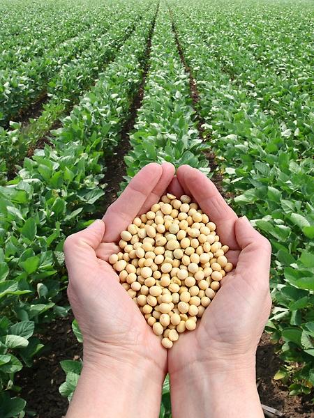 Agropecuária - plantações - soja lavoura colheita produção agrícola